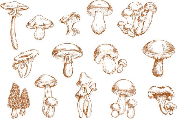 edible mushrooms sketches for food design - 버섯 stock illustrations