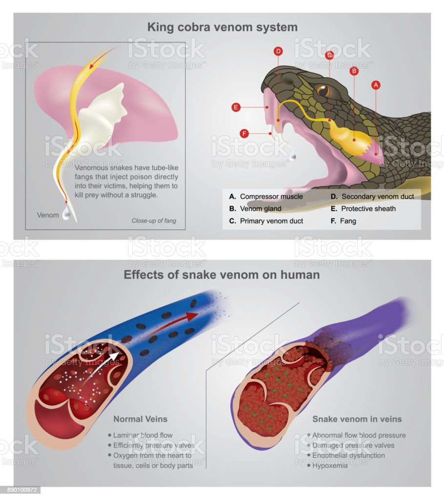 Effect Of Snake Venom On Human Info Graphic Illustration Stock