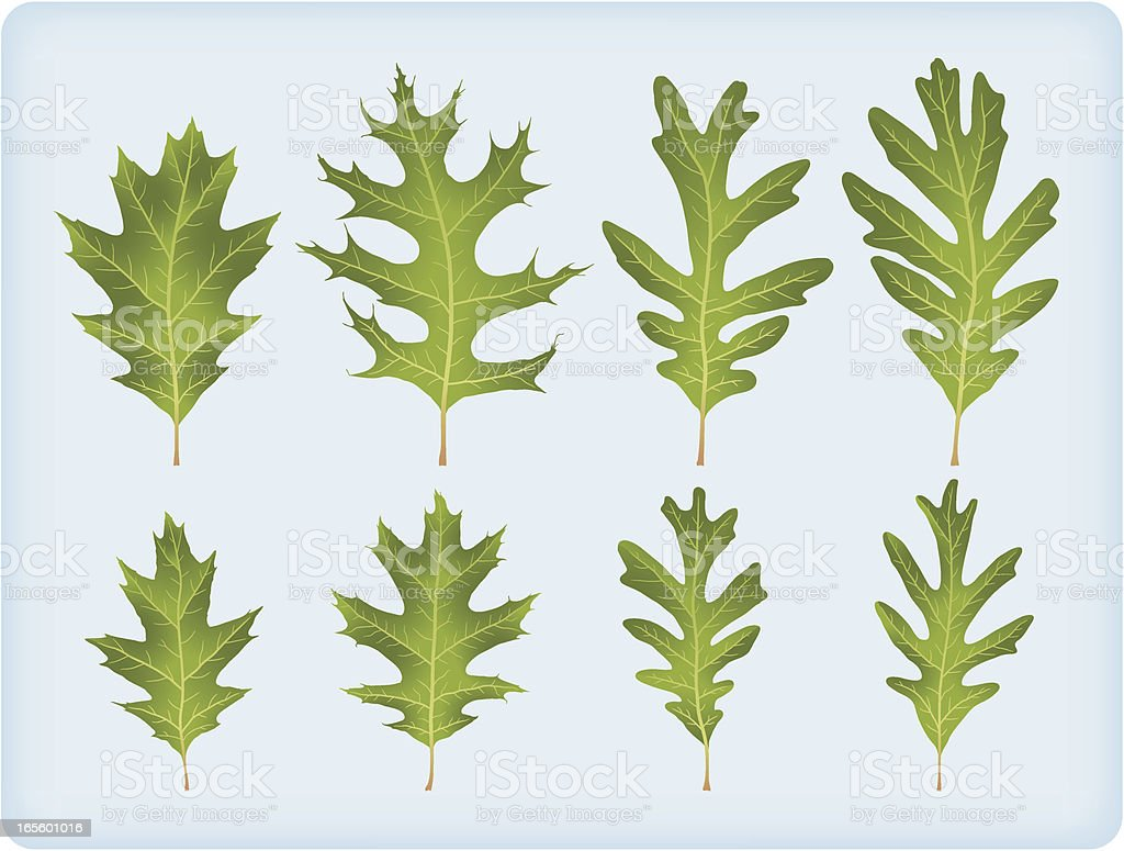 Eight oak leaves (no meshes) royalty-free stock vector art
