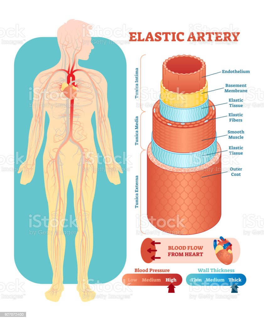 Elastic Artery Anatomical Vector Illustration Cross Section