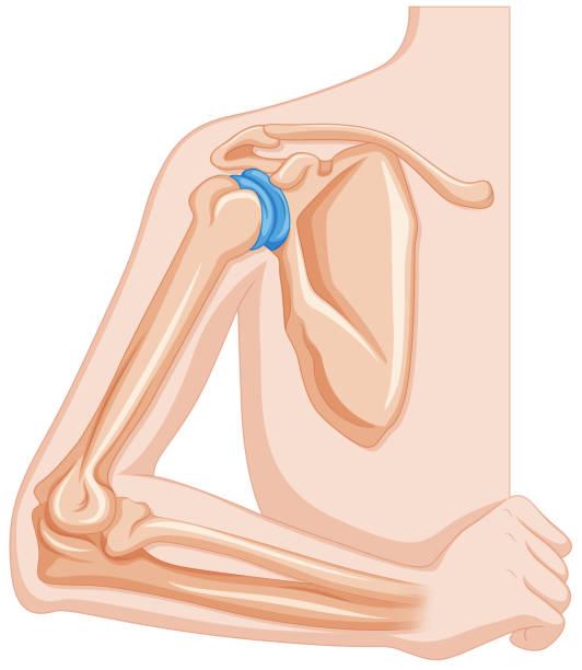 Royalty Free Human Shoulder Diagram Backgrounds Clip Art, Vector ...
