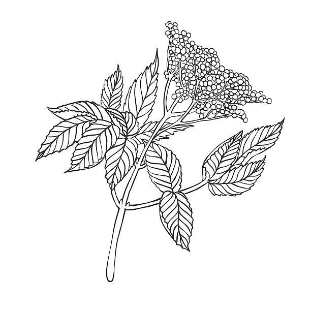 holunderbeere plant - holunderstrauch stock-grafiken, -clipart, -cartoons und -symbole