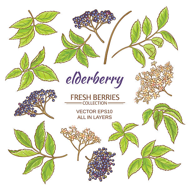elderberry vector set - holunderstrauch stock-grafiken, -clipart, -cartoons und -symbole