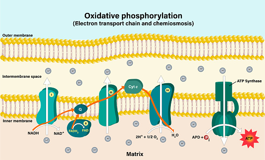 Electron transport chain couples chemiosmosis to ATP synthesis