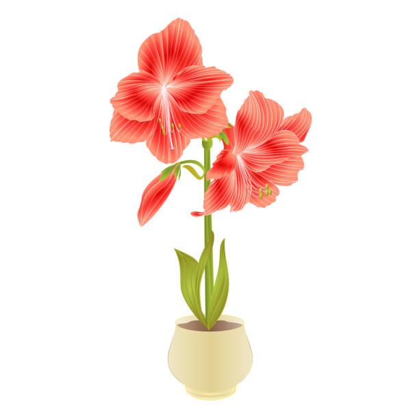 bildbanksillustrationer, clip art samt tecknat material och ikoner med elegant blommande amaryllis röda blommor och knopp i kruka på en vit bakgrund detaljerad naturlig ritning av vackra odlade blommande trädgård växt vintage vektor illustration redigerbar - amaryllis