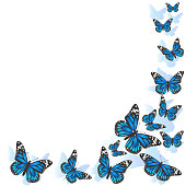 Element of design. Frame made of butterflies. Blue butterflies on a white background. vector image