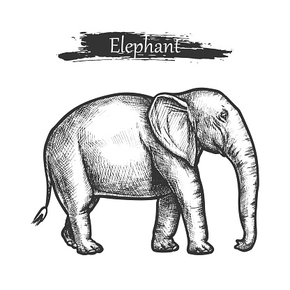 Elephant sketch zoo and African jungle wild animal