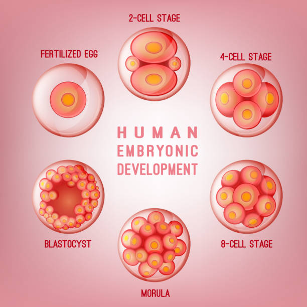 Embryo Development Image Embryo development image. Human fertilization scheme, the phases of embryo development in the early stages. Vector illustration in pink colours isolated on a light background. human blastocyst stock illustrations