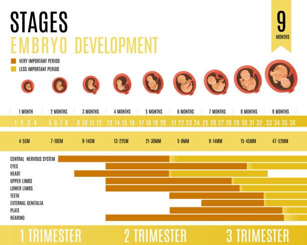 illustrazioni stock, clip art, cartoni animati e icone di tendenza di embryo development month and trimester stages vector illustration. - scheda clinica