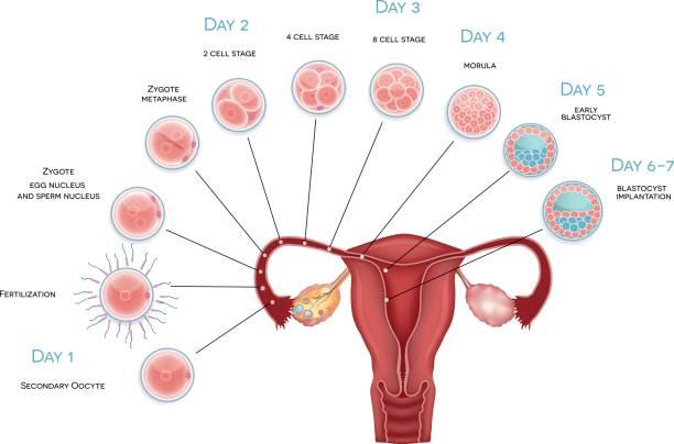 ilustraciones, imágenes clip art, dibujos animados e iconos de stock de desarrollo del embrión - ovario