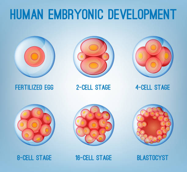 Embryo Development Embryo development image. Human fertilization scheme, the phases of embryo development in the early stages. Vector illustration in pink and blue colours isolated on a light blue background. human blastocyst stock illustrations