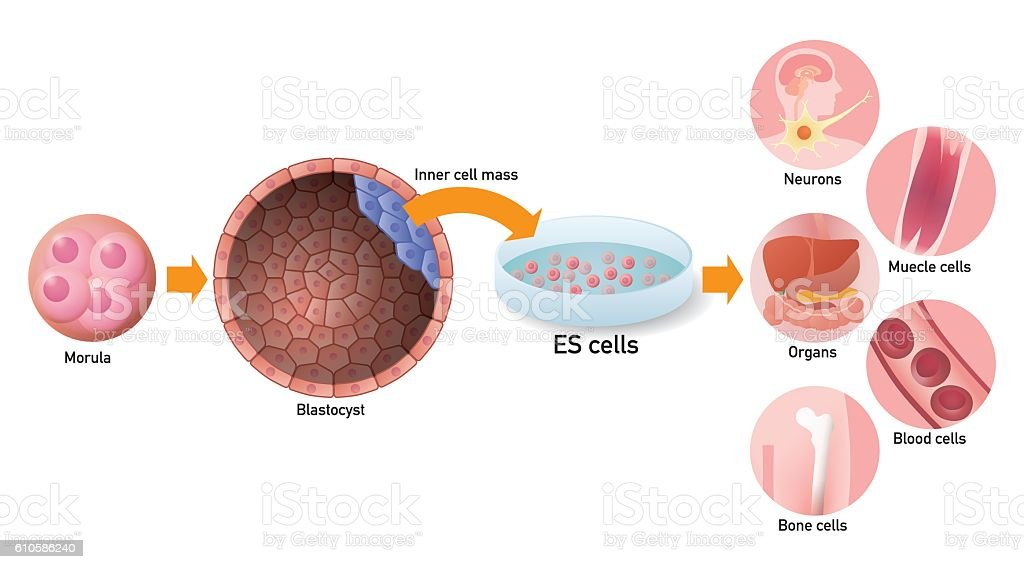 Embryonic stem cell (ES cell) and regenerative medicine vector art illustration