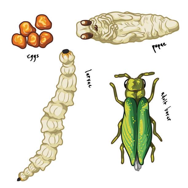 stockillustraties, clipart, cartoons en iconen met emerald ash boringen levensfasen: eieren, larven, poppen en volwassen - larve