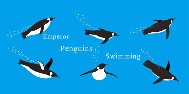stockillustraties, clipart, cartoons en iconen met keizer pinguïns zwemmen in de zee met verschillende houdingen. - pinguins swimming