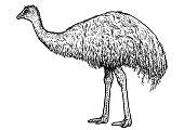 Emu illustration, drawing, engraving, ink, line art, vector