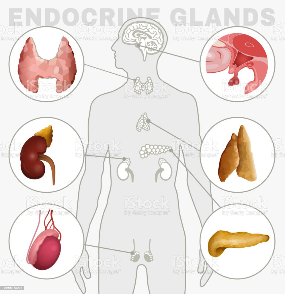 Ilustración de Imagen De Las Glándulas Endocrinas y más banco de ...