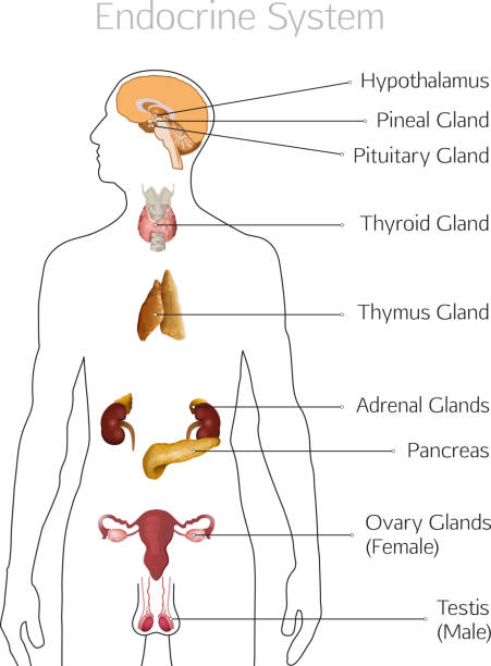Royalty Free Endocrine System Clip Art, Vector Images ...