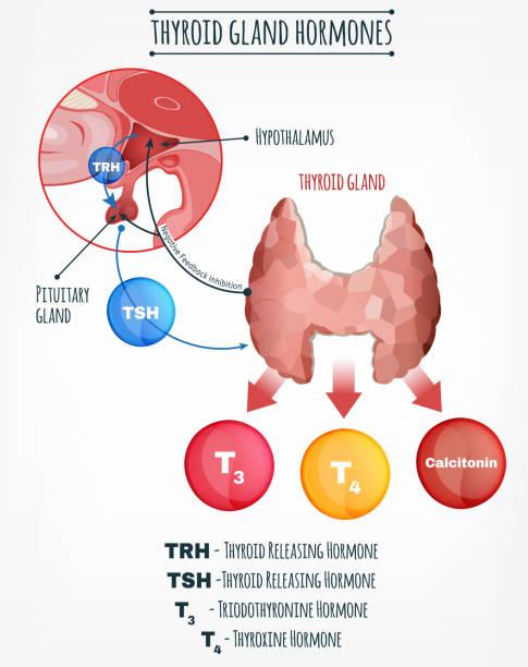 ilustraciones, imágenes clip art, dibujos animados e iconos de stock de imagen del sistema endocrino - thyroxine