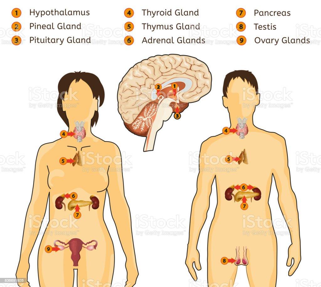 Increíble El Sistema Endocrino Humano Cresta - Anatomía de Las ...