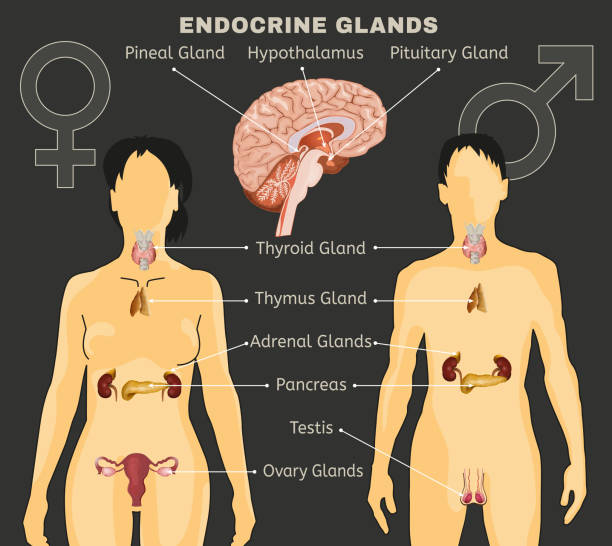 Endocrine System Image Female and Male endocrine system. Human comparative anatomy. Human silhouette with detailed internal organs. Vector illustration isolated on a dark grey background. exocrine gland stock illustrations