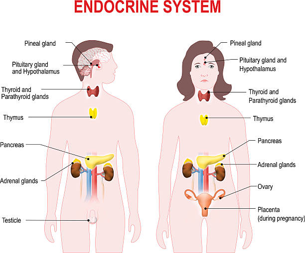 endocrine system endocrine system. Human anatomy.  Man and woman silhouette with highlighted internal organs. human gland stock illustrations