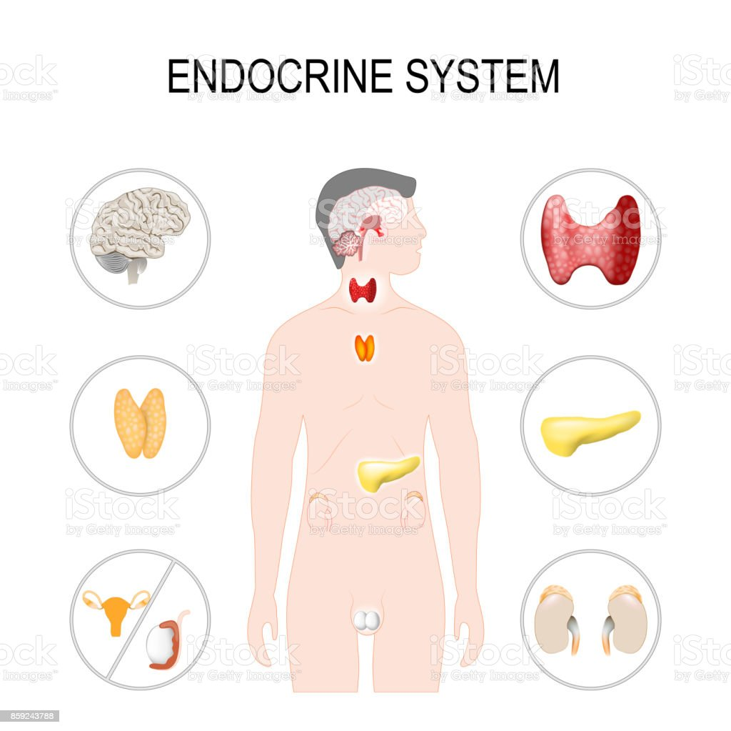 Endocrine system vector art illustration