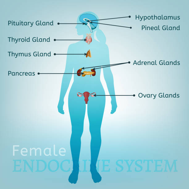 Endocrine System Woman Female endocrine system. Human anatomy. Human silhouette with detailed internal organs. Vector illustration isolated on a light blue background. female likeness stock illustrations