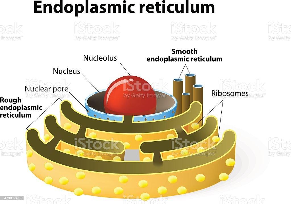 Endoplasmic reticulum vector art illustration