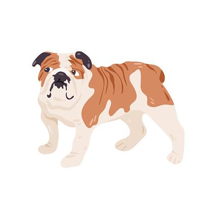English, british bulldog isolated on white  vector illustration.