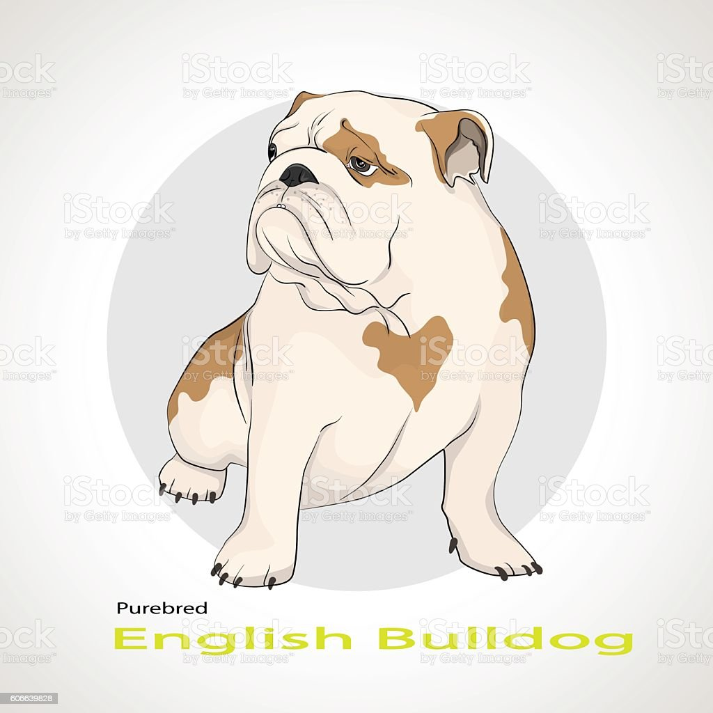 English Bulldog British Bulldog Stock Vector Art & More Images of ...