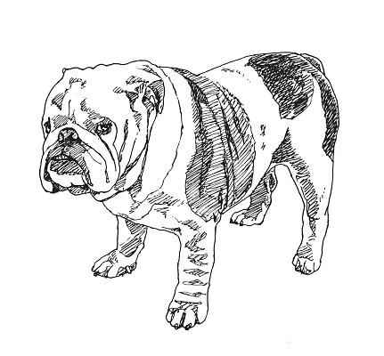 English Bulldog . Vector