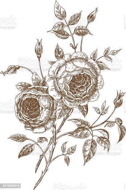English roses vector id524693915?b=1&k=6&m=524693915&s=612x612&h=58b6ox3a33jijwmn5r7kggo0bubyiprzauueoudk2 0=