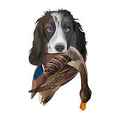 English springer spaniel dog with mallard duck in its mouth. Vector illustration isolated on white background