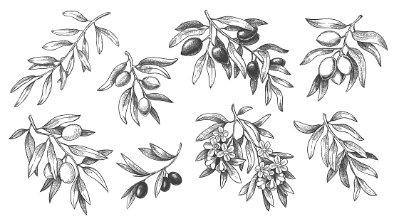 Engraved olive branch. Sketch branches with leaves and blossoms, hand drawn olives vector illustration set.