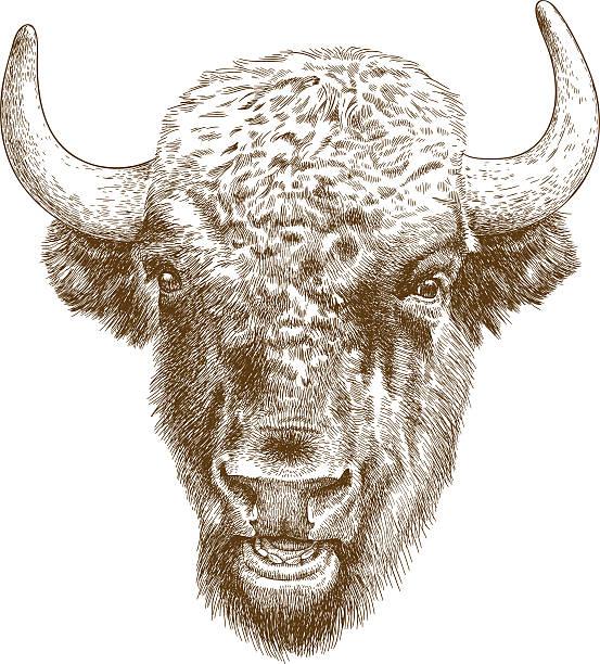 engraving antique illustration of bison head vector art illustration