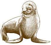 Vector antique engraving drawing illustration of fur seal or Arctocephalus pusillus isolated on white backgroun
