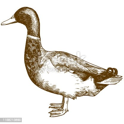 Vector antique engraving drawing illustration of mallard duck male drake isolated on white background