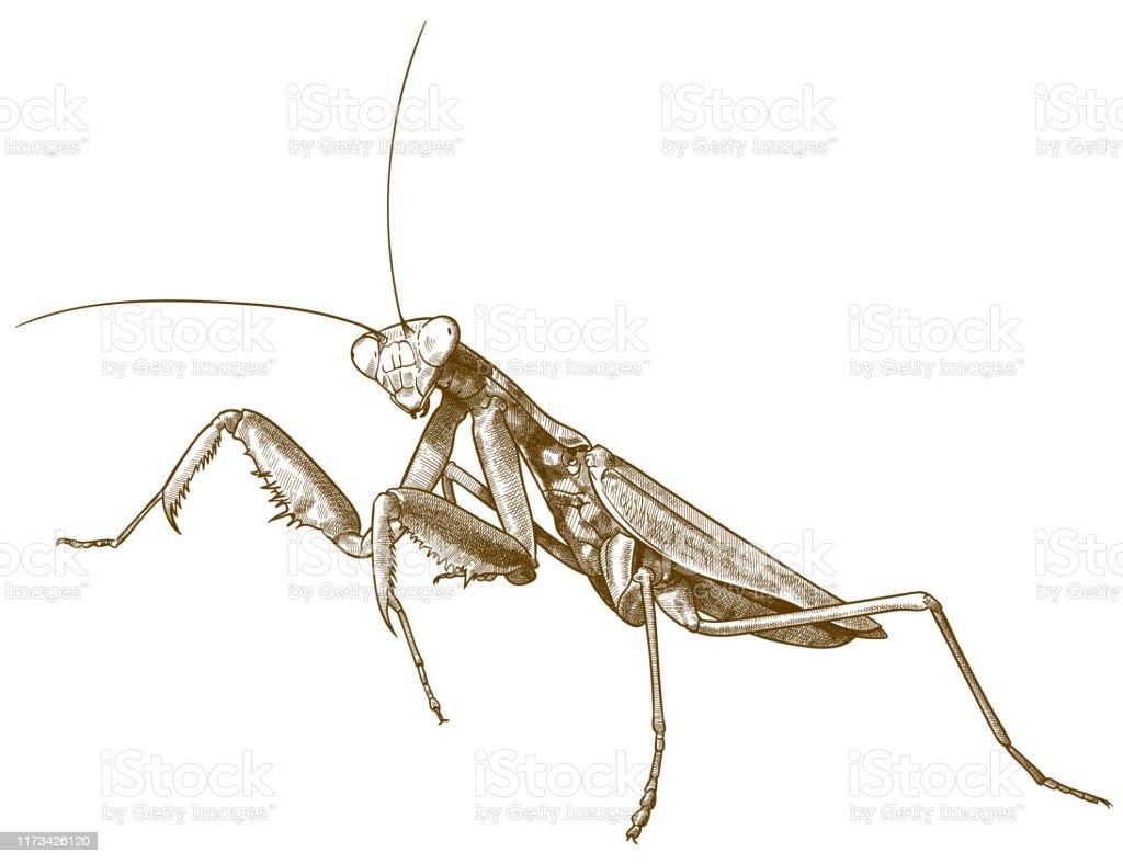 Engraving Antique Illustration Of Praying Mantis Stock