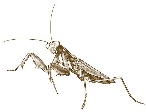 engraving antique illustration of praying mantis