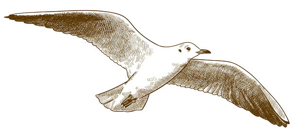 engraving antique illustration of seagull