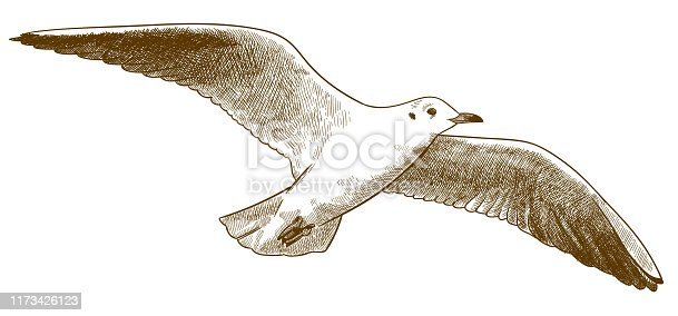 Vector antique engraving drawing illustration of gull or seagull isolated on white background
