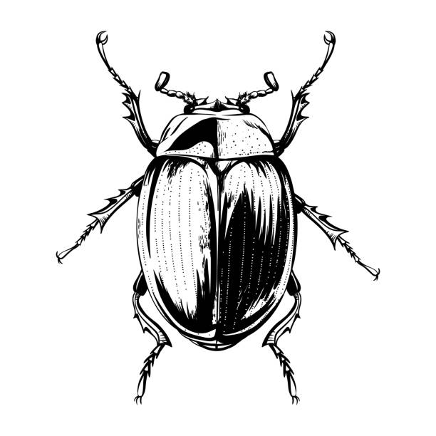 Engraving beetle Vector engraving illustration of beetle on white background beetle stock illustrations