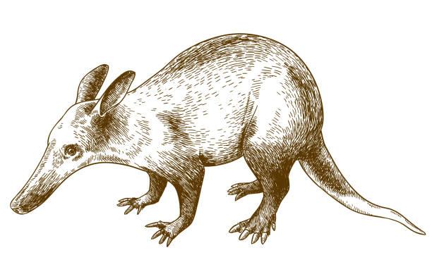 gravur zeichnung illustration von erdferkel - ameisenbär stock-grafiken, -clipart, -cartoons und -symbole