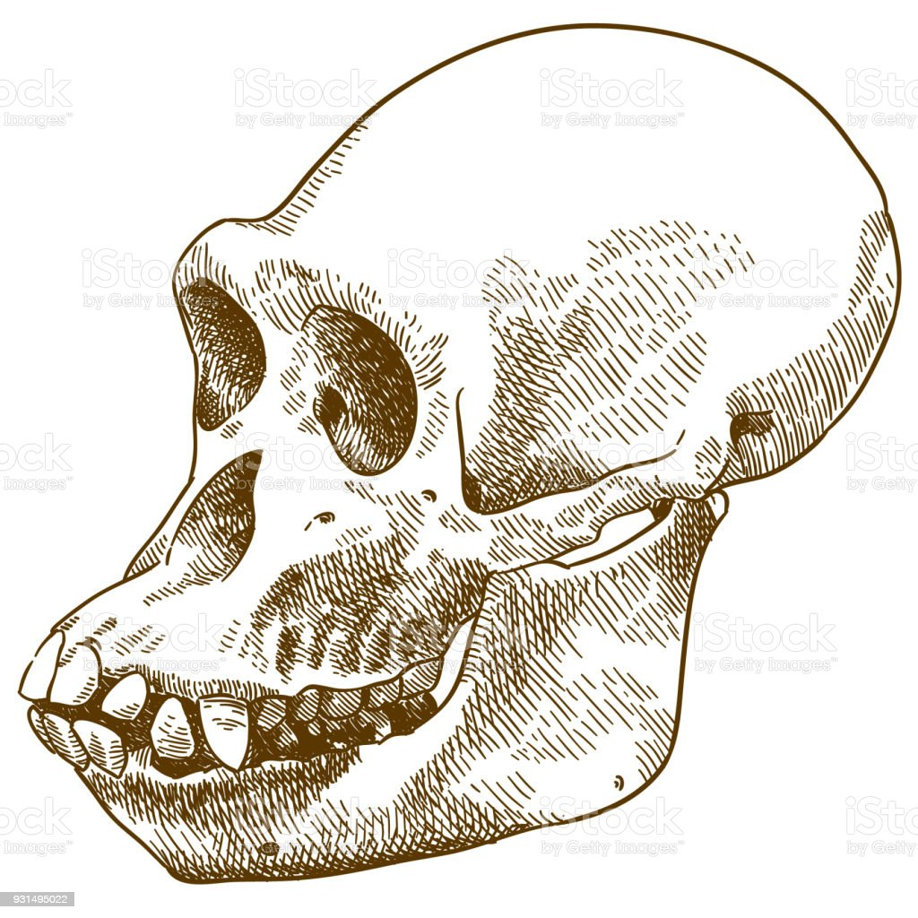 engraving drawing illustration of anthropoid ape skull vector art illustration