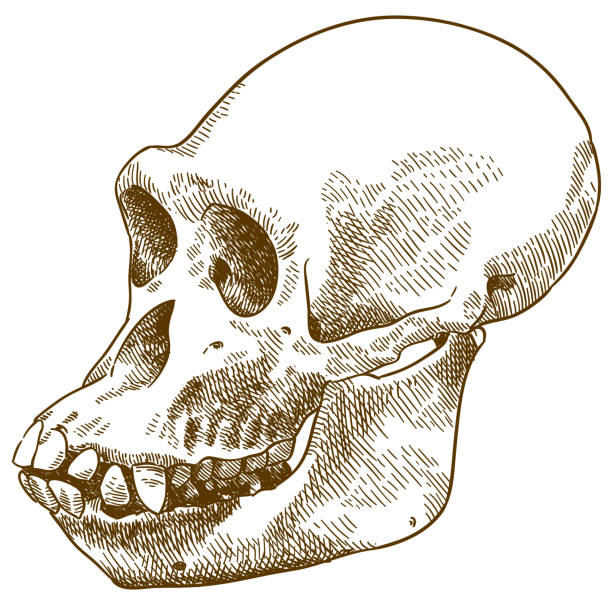 grabado dibujo ilustración del cráneo de mono antropoide - ilustración de arte vectorial