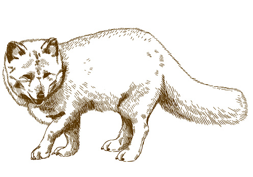 engraving drawing illustration of arctic fox
