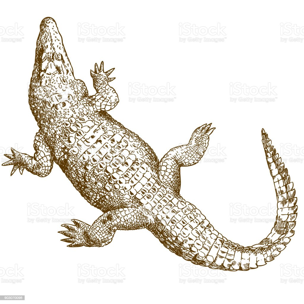 engraving drawing illustration of big crocodile vector art illustration
