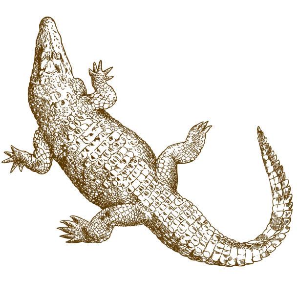 engraving drawing illustration of big crocodile - crocodile stock illustrations