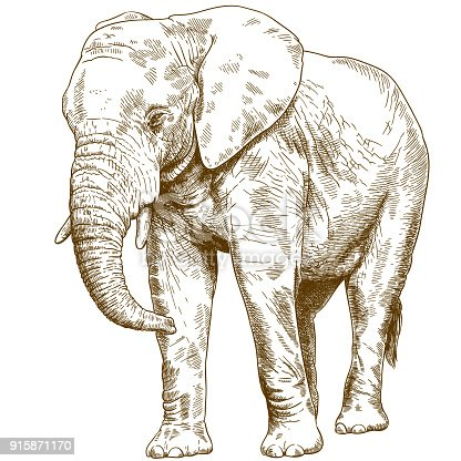 Vector antique engraving drawing illustration of big elephant isolated on white background