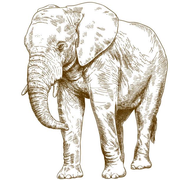 engraving drawing illustration of big elephant Vector antique engraving drawing illustration of big elephant isolated on white background elephant stock illustrations